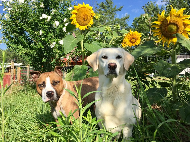 Two dogs sitting in sunflowers